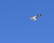 Osprey Fishing, Veile Lake