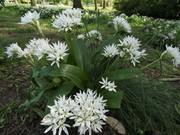 Ramsons - Wild Garlic, April 24th  '20