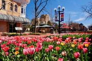 Tulips on empty Pearl Street mall