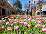 Tulips on the Pearl Street Mall 5-1-20