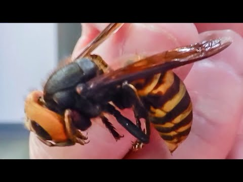 NYPD Bee Unit prepares for 'murder hornets'