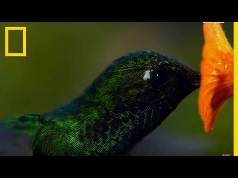Ces colibris sont les animaux les plus rapides sur Terre