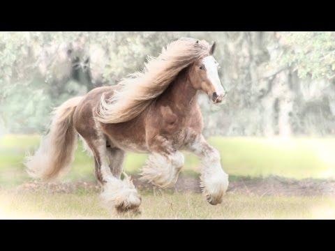 "Gypsy Vanner Horse stallion ""Bullet"""