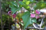 Pair of Catesbys trilliums
