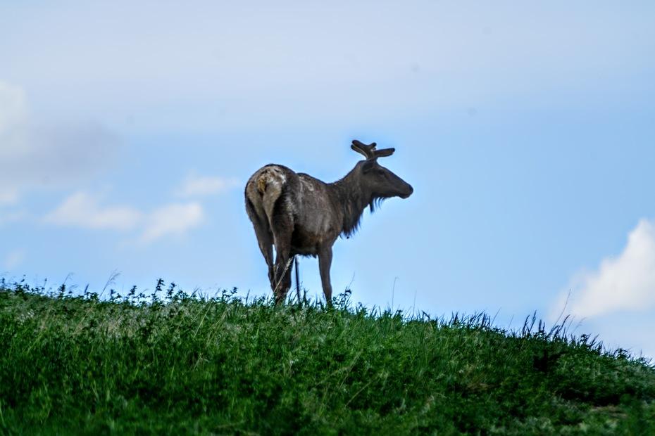 Boulder Elk/3
