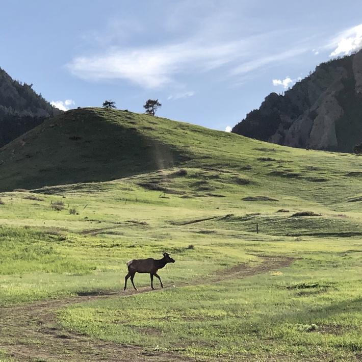 Boulder Elk/1