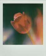 Impressione di tulipano