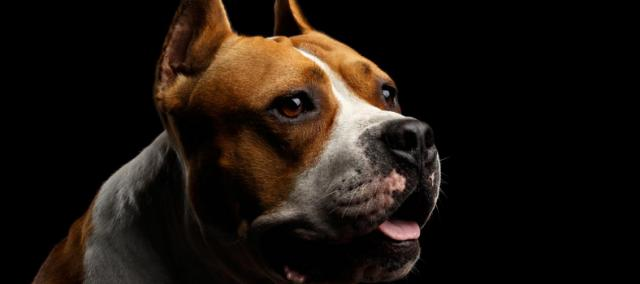 The curious case of U.S. v. APPROXIMATELY 30 PIT BULL TYPE DOGS