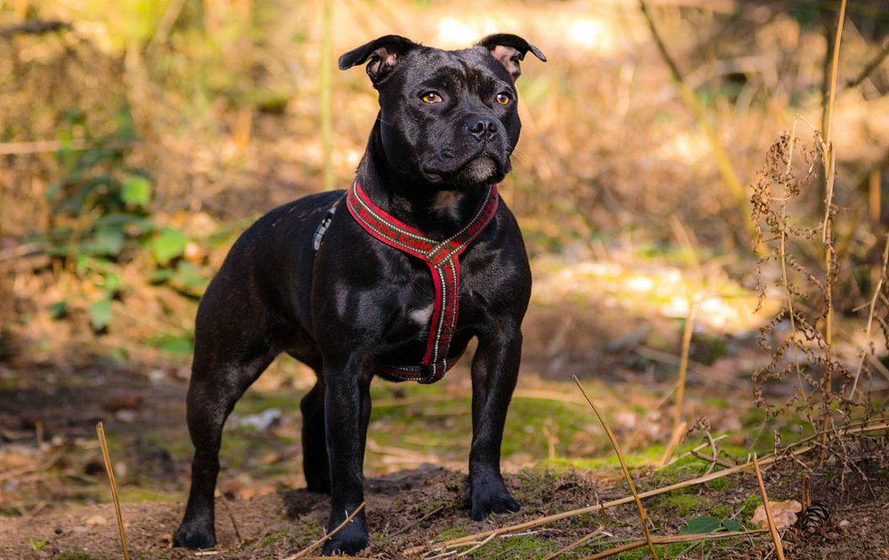 MPs debate listing Staffordshire Bull Terriers as 'dangerous dogs'