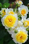 _What beautiful two tone Roses!!_