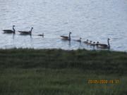Canada Geese w/ Goslings