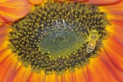 Orange Sunflower Bee - Closeup