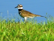 Pond Plover Proudly Posing