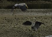 Heron Tiff