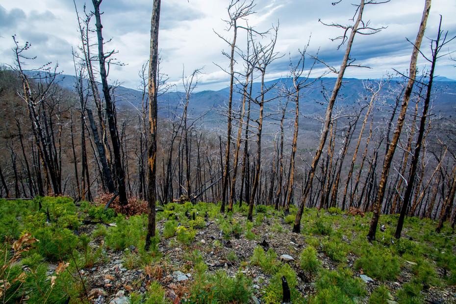 Along the Bullhead Trail, 12-27-18, Table Mountain Pine Seedlings