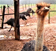 Rudy O's Bad Hair Day at the Ostrich Ranch