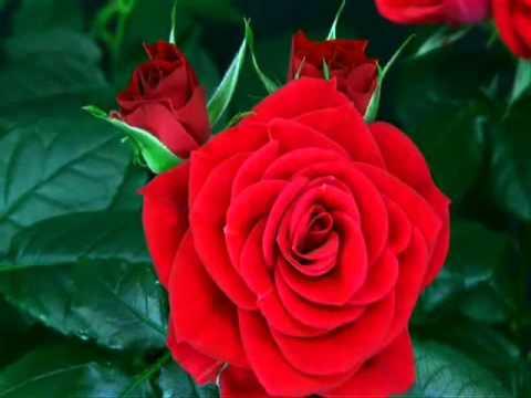 Nacimiento de una rosa