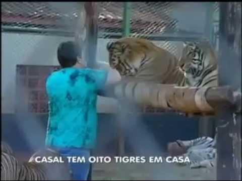 Casal cria oito tigres em casa no Paraná