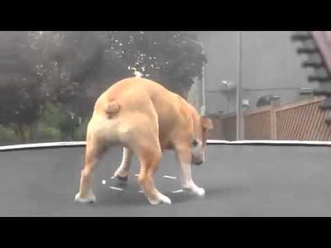 Bulldog And Trampoline