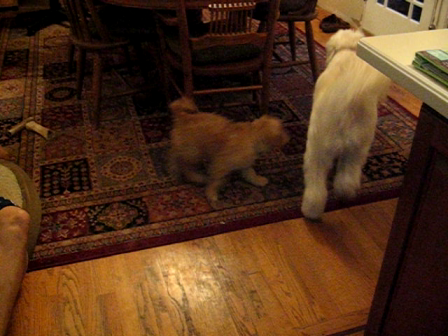 Lucca and Izzy playing. Izzy's first day home