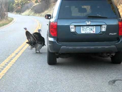 Turkeys.avi