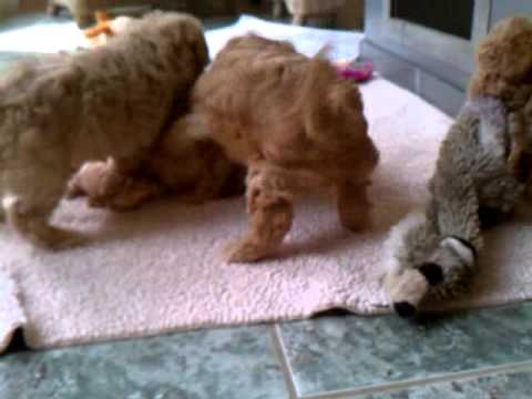 Granger and his littermates at 6 Weeks