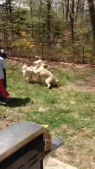 Archies Brother (Chewey) and sister (Maddie) playing