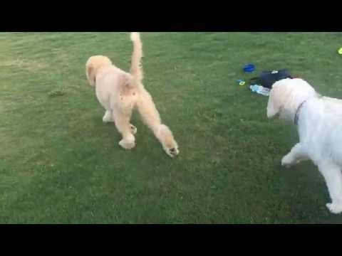 Goldendoodle Puppy Lucky meets brother Rex