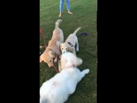 Lucky 4 month old Goldendoodle meets Golden Retriever Puppies