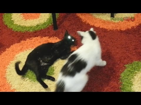 Funny cats video - Hilarious cat playing