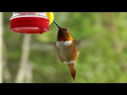Hummingbirds On The First Day Of Spring