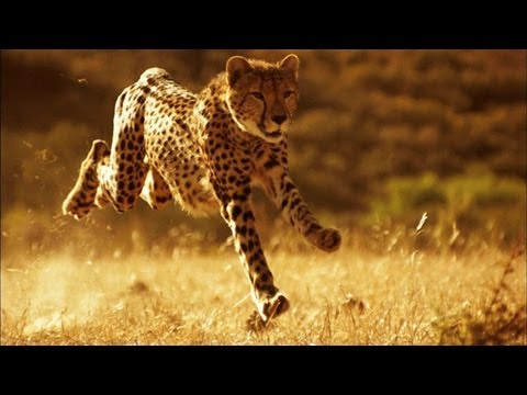This Is Why You Can't Outrun a Cheetah