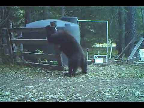 Bear hits himself in the nuts!!!! Hilarious