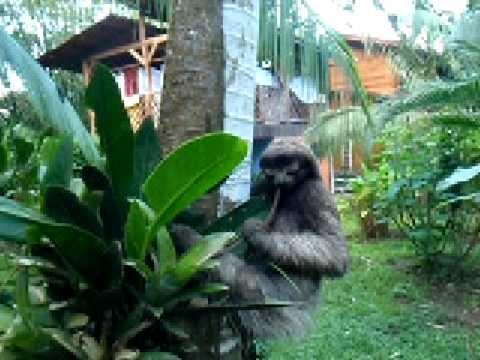 A sloth at Totem Hotel Beach resort