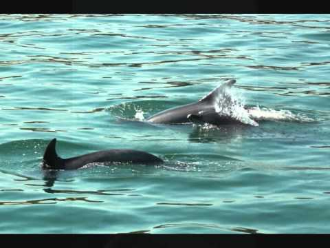 Wild Dolphins of the Setubal Estuary, Portugal