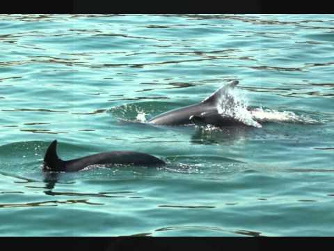 Wild Dolphins of the Setubal Estuary, Portugal