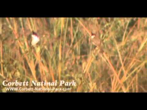 Himalayan Bulbul- Birding in Corbett National Park