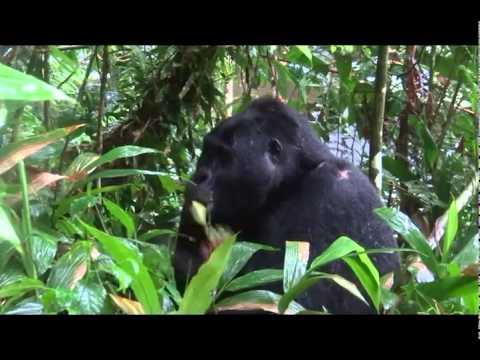 6 Days Rwanda Safari with Gorilla tracking, Golden monkeys, Hiking volcanoes  gorillatourbooking.com