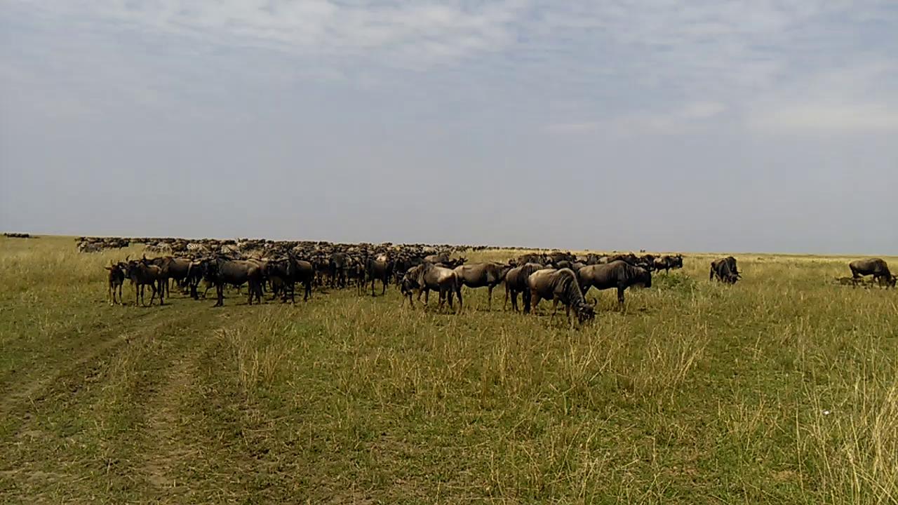 Kenya Wildebeest Migration Safari.