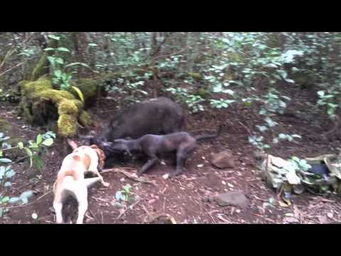 Train pups on a sow