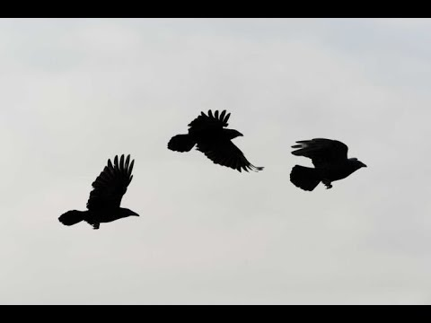 Three Black Crows ~ Blackmore's Night