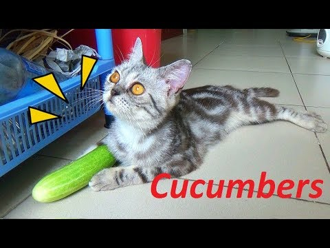 Cat Don't Scared Of Cucumbers, She Just Don't Care For It | Funny Cats 2017