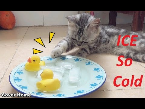 Cats to Enjoy Ice Ball So Funny | Funny Cat And Ice | Meo Cover Home