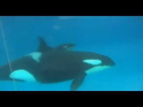 Killer whale gives birth in pool at Sea World