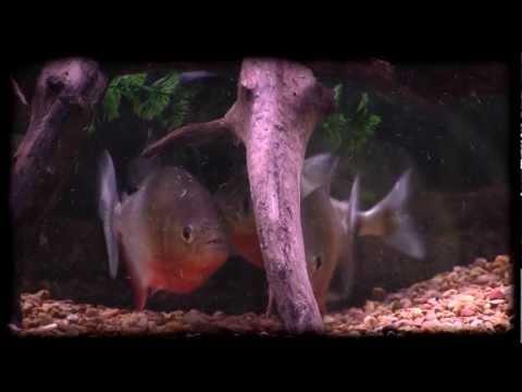 iN-dEPTH: Red Belly Piranha