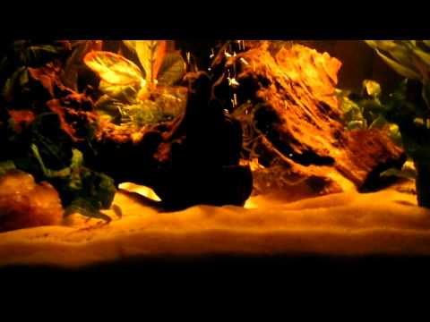 Chocolate Gouramis, Red Claw Crabs and the 40gallon community.