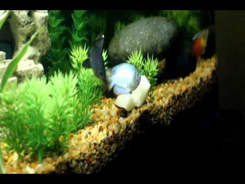 blue dwarf gourami eating potato