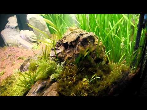 Moss and shrimp in the 350 Tank