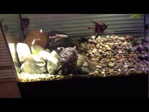 Silver tip shark/catfish doing death roll on giant mealworm