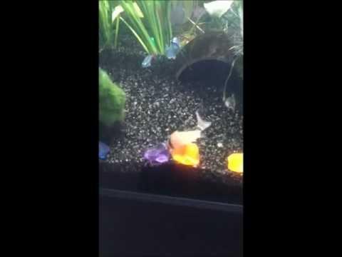 Corydoras metae (Bandit Cory)